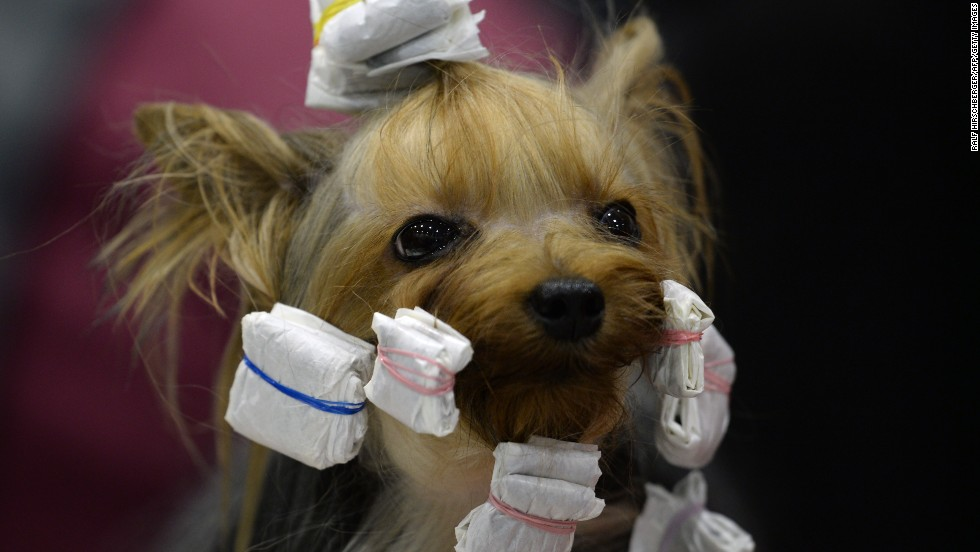 A Yorkshire terrier gets prepared for a competition during a pedigree dog exhibition in Schoenfeld, Germany, on Sunday, March 30.