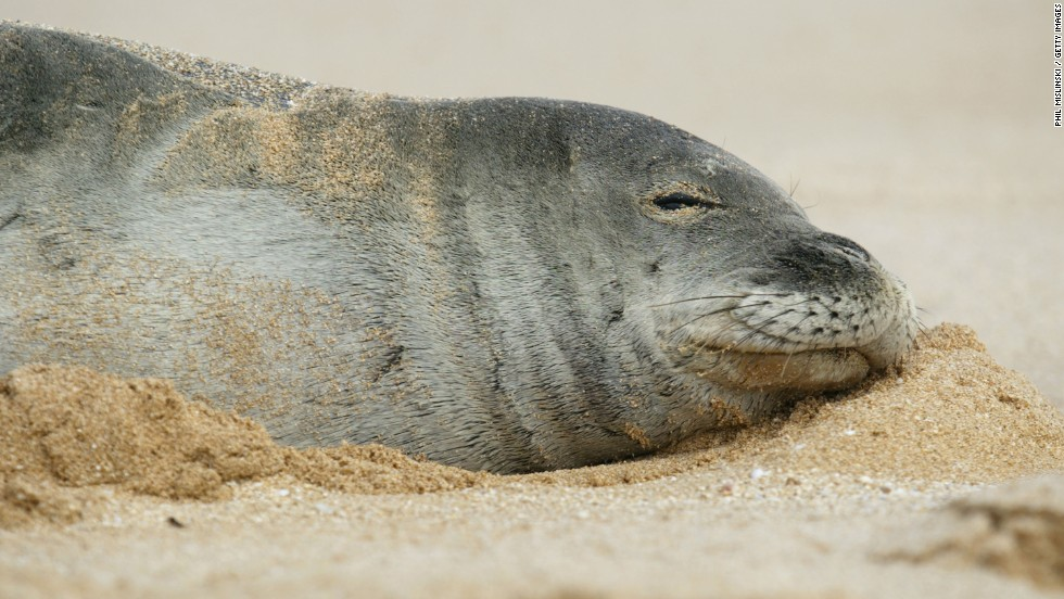 <strong>Mediterranean Monk Seal:</strong><br />There are fewer than 450 left in the wild, including a colony of about 130 off the coast of Mauritania and Western Sahara.<br />These seals were once a common sight in Europe and along the West coast of Africa. More recently, their numbers have dwindled to the point of near extinction. They have been hunted by fishermen, who see them as competition; many of the caves that they use for breeding have been destroyed. In 1997, around two thirds of the African population died, possibly from disease or toxic algae blooms.<em><br />Source: IUCN</em>
