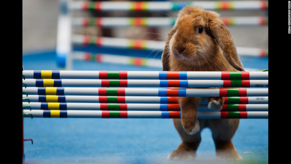 A rabbit pauses during the competition.