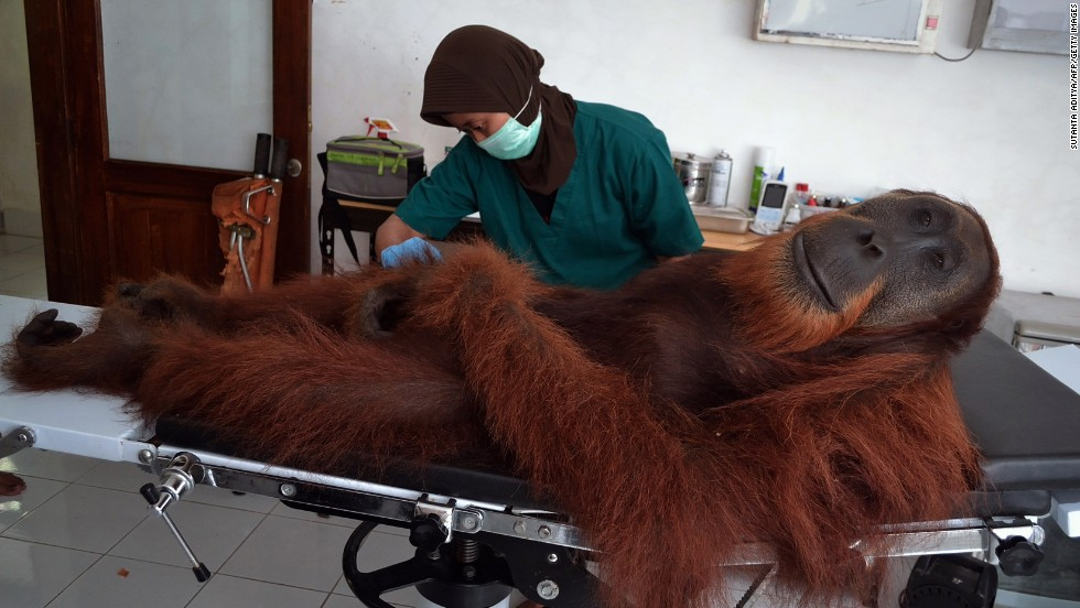 A veterinary staff member of the Sumatran Orangutan Conservation Program examines a 14-year-old male orangutan Wednesday, April 16, in Sumatra, an Indonesian island. The orangutan was rescued a day earlier with air gun pellets embedded in his body. His species is considered critically endangered because of poaching and rapid destruction to its forest habitats.