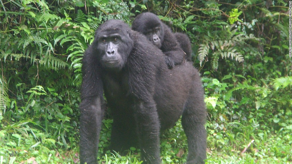"Adult female ""Karungyi"" gently carries one of the infant gorillas of the Rushegura group in Bwindi Impenetrable National Park in 2007."