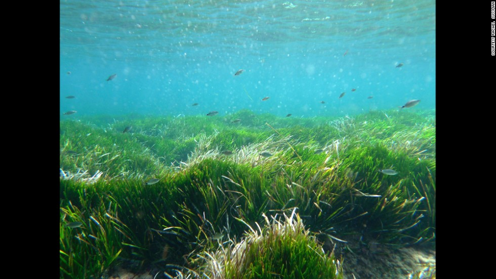 Posidonia oceanica sea grass. 100,000 years old. Balearic Islands, Spain.