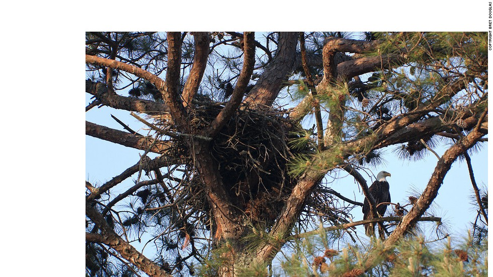 "Carter says the nest is about 8.5 feet wide and about five feet deep. ""They've pretty big! When you've got a couple of adults and some food and two eagles, you've got to have some room,"" he explains."