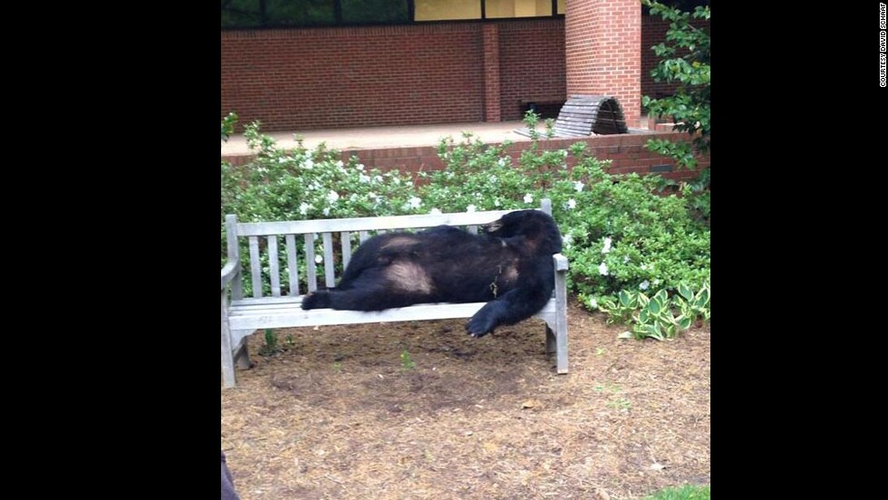 A dead black bear lies on a bench Tuesday, April 29, on the campus of North Carolina State University in Raleigh. Preliminary necropsy results show that the bear was hit by a vehicle, wildlife authorities said. They are trying to determine who may have left the bear on the bench.