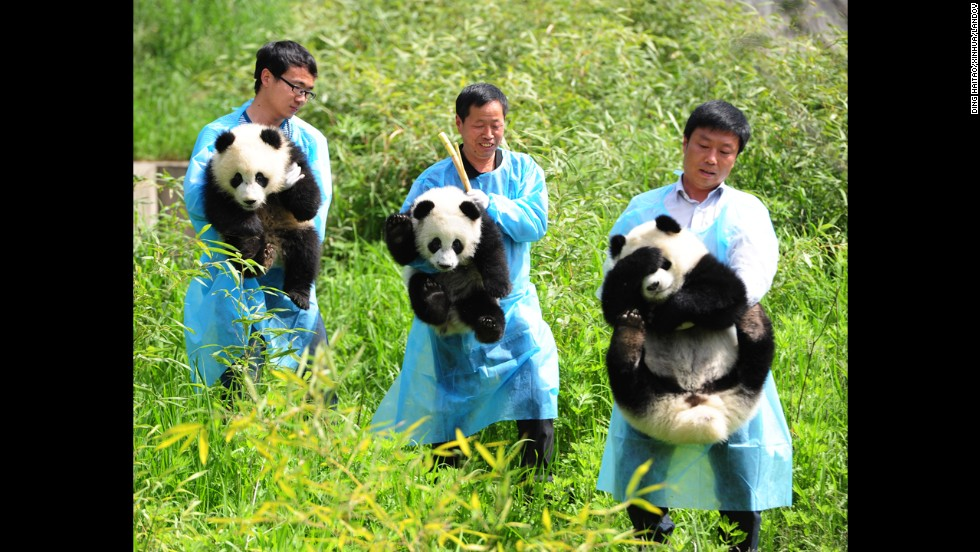 Three giant panda cubs are introduced at the wild animal rescue and research center in China's Shaanxi province on Wednesday, April 30. It was the public debut for the cubs, who were born last year.