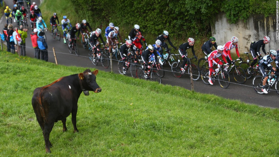 A cow in Fribourg, Switzerland, watches the peloton during stage four of the Tour de Romandie on Saturday, May 3. Chris Froome won the overall race.