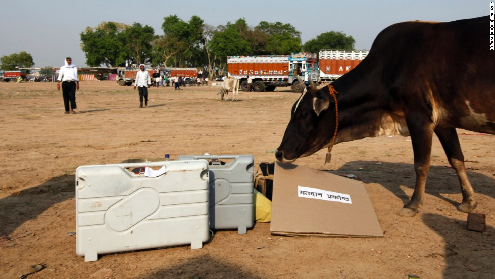 A cow approaches electronic voting machines in Allahabad on May 6.