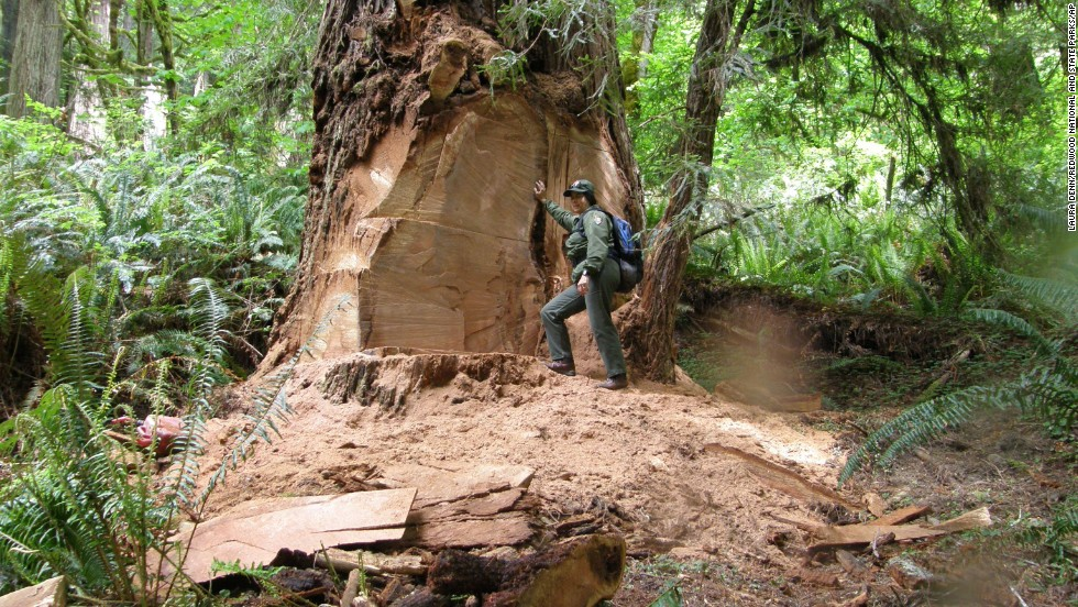 Poachers take chunks from California redwoods, put majestic trees at risk