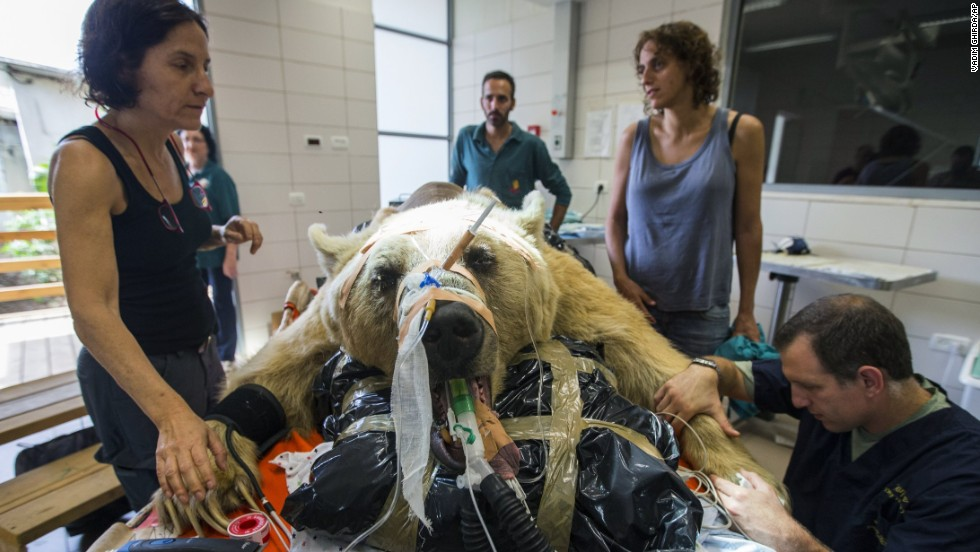 Zoo staff members stand beside Mango, a 19-year-old Syrian brown bear, as he is sedated for spine surgery at the Ramat Gan Safari near Tel Aviv, Israel, on Wednesday, May 7. Mango suffered a slipped disk that caused him pain and impaired his mobility.