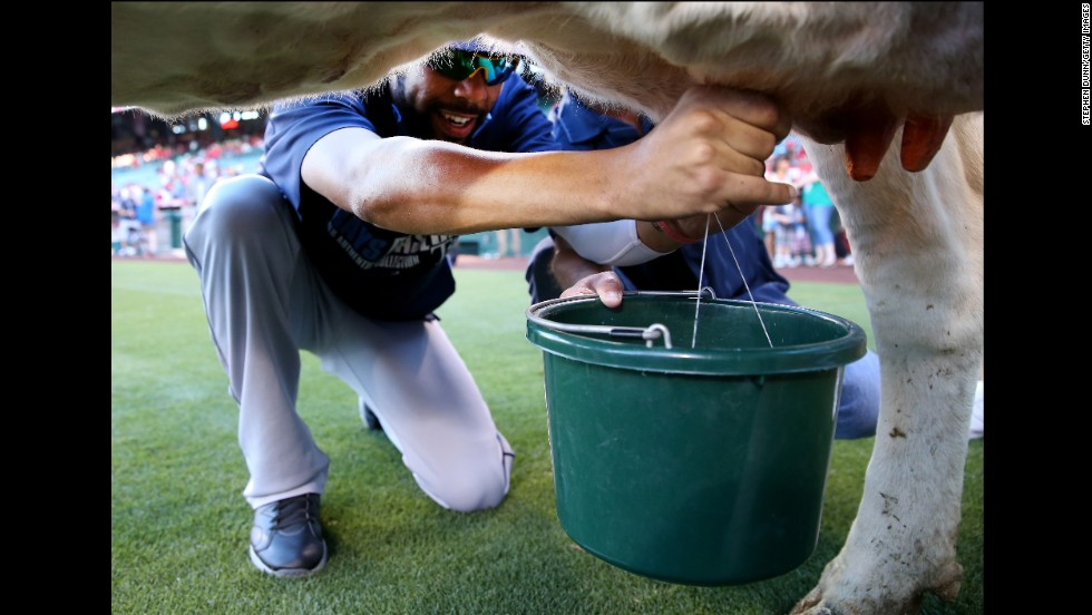David Price, a pitcher with the Tampa Bay Rays, takes part in a cow-milking contest held prior to a game with the Los Angeles Angels of Anaheim on Friday, May 16. Price lost to Angels infielder Luis Jimenez in the contest, which has been held annually at Angels games for 40 years.