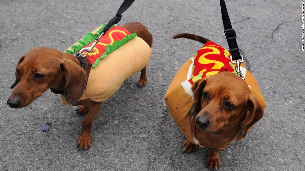 A pair of dachshunds dressed as hot dogs participate in Ted and Amy's Annual Pet Costume Contest in Brewerton, New York, in 2012.