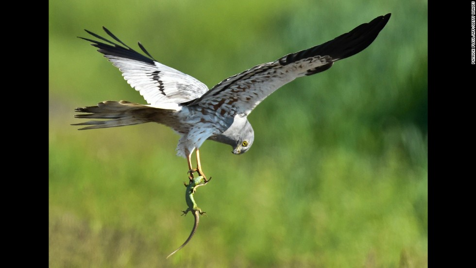 A Montagu's Harrier carries a lizard at a meadow near Mallnow, Germany, on Tuesday, May 20.