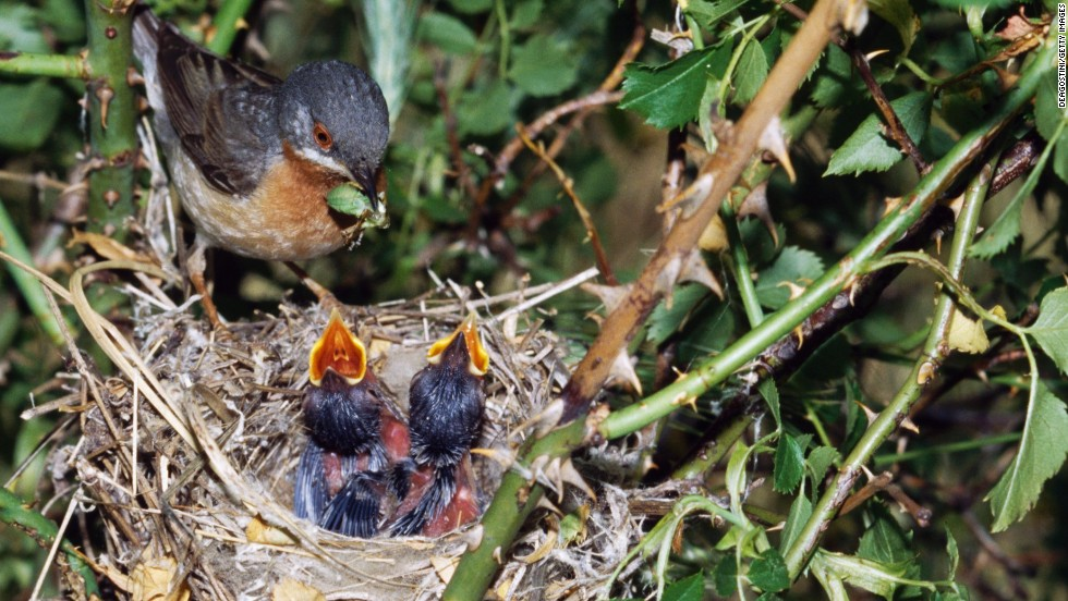 A subalpine warbler feeds its chicks at the nest.