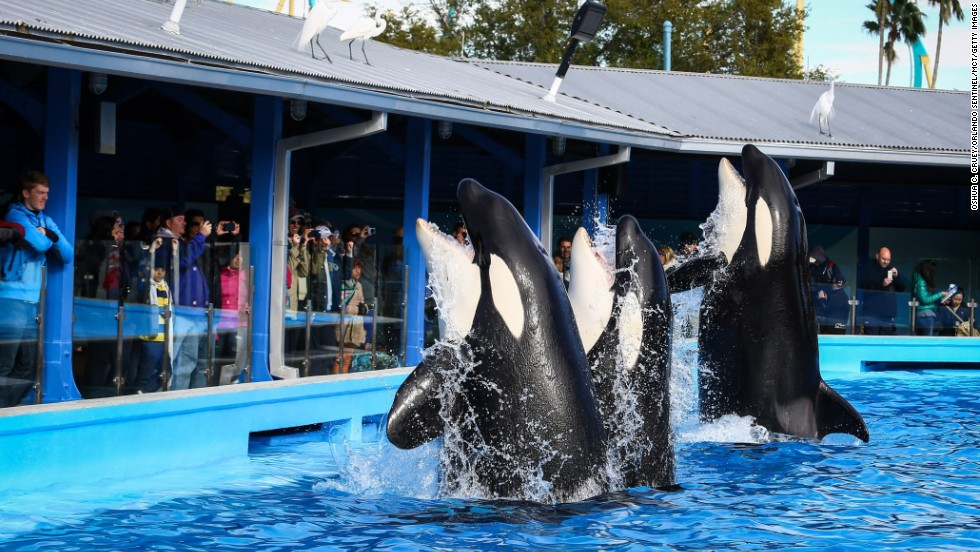 19. SeaWorld Florida also features the famous whales in its shows.
