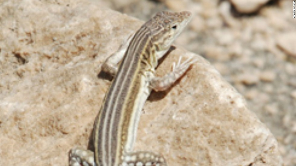 The semi-desert areas of northern Iran, southeastern Turkey and the Armenian plateau are home to this critically endangered lizard. Its numbers are thought to have declined by 80% in the last 10 years because of habitat loss.