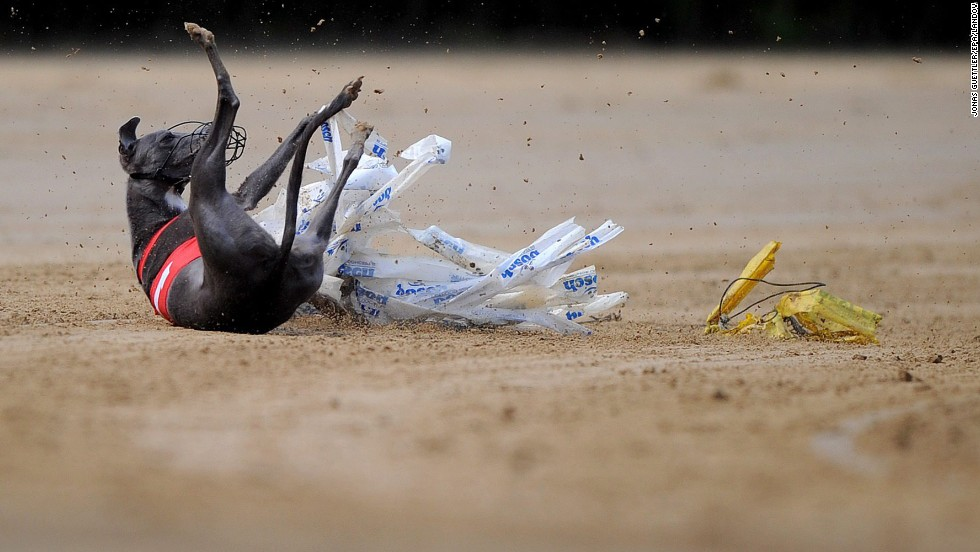 A dog named Mondriaan vom Badenermoor stumbles during a race in Gelsenkirchen, Germany, on Sunday, June 8.