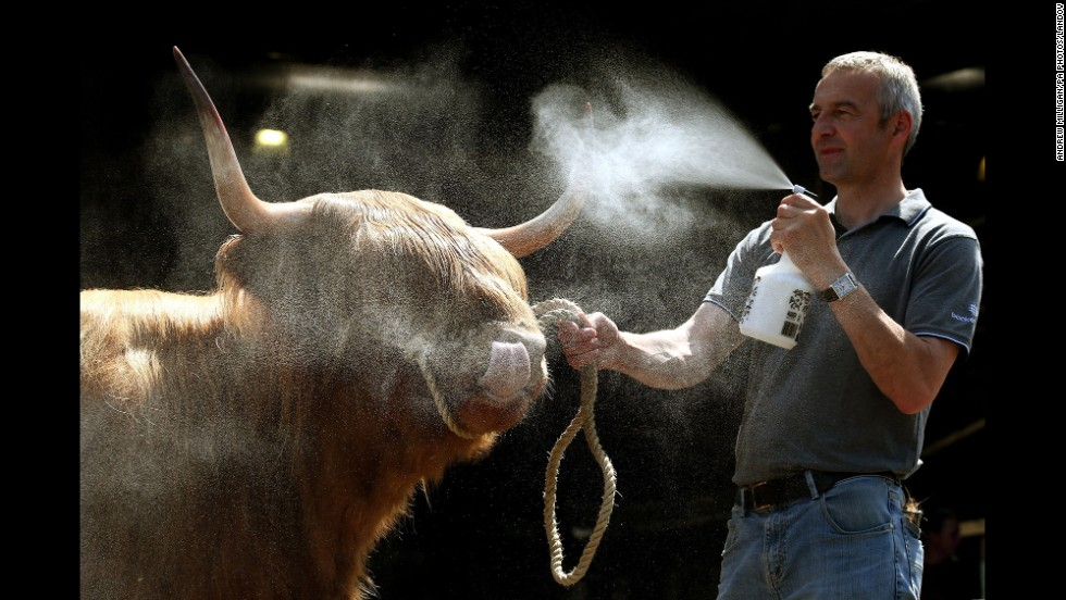 Willie McLean cools down a Highland cow Wednesday, June 18, ahead of the Royal Highland Show, an annual celebration of farming, food and countryside in Edinburgh, Scotland.