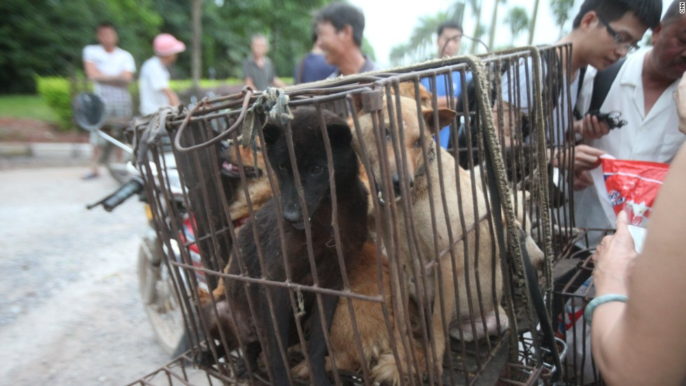 Dogs are crammed into cages and transported into the city by motorbikes to avoid media attention.