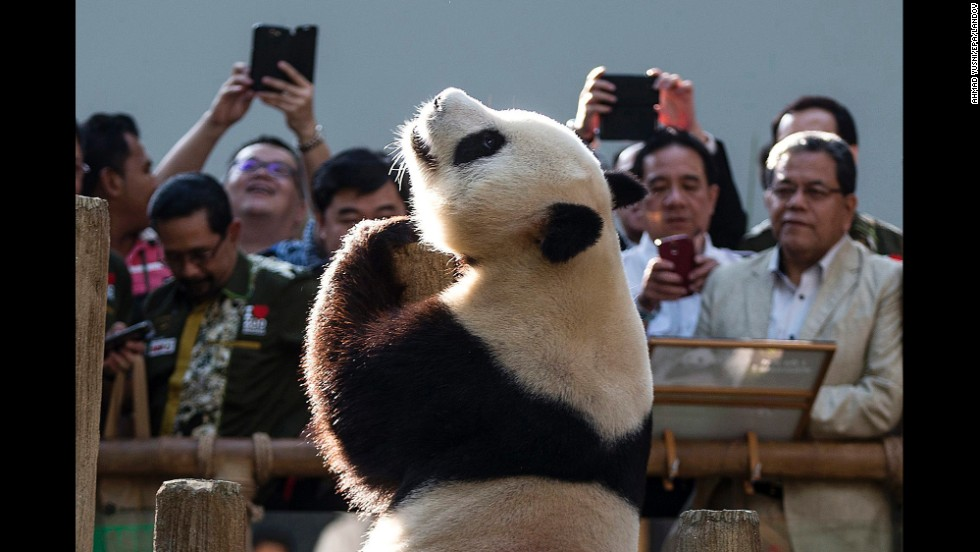 Eight-year-old panda Xing Xing entertains the crowd at the National Zoo in Kuala Lumpur, Malaysia, on Wednesday, June 25.