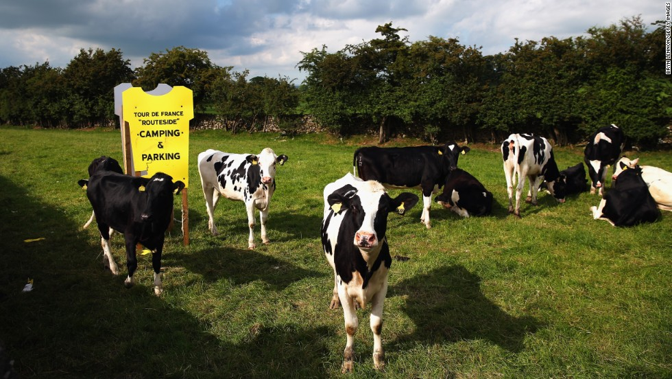 Cows gather near signs advertising the Tour de France on Friday, June 20, in Rylstone, United Kingdom. The first two stages of the annual cycling race will be held in Yorkshire.
