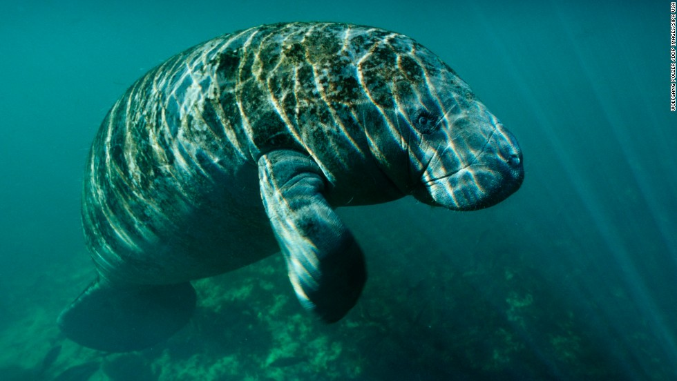 Manatees may move from endangered to threatened list