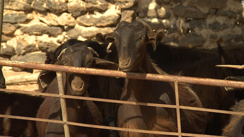 Goats peer out from behind a pen in Mafraq, Jordan. Wool distributors also report not being able to export their product to market in Turkey because of the Syrian conflict.