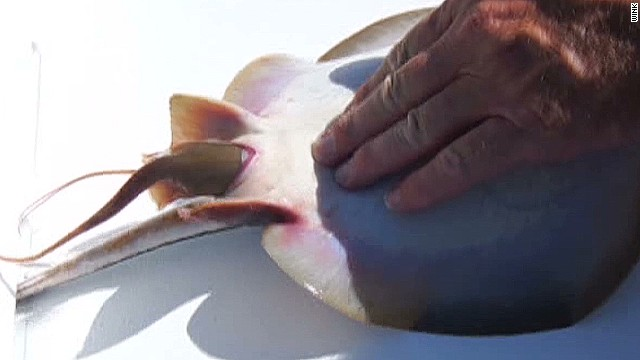dnt fisherman helps birth stingray_00003314.jpg