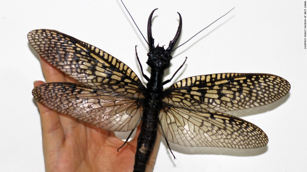 Large enough to cover the face of a human adult, this scary-looking insect is also known among entomologists as an indicator of good water quality.