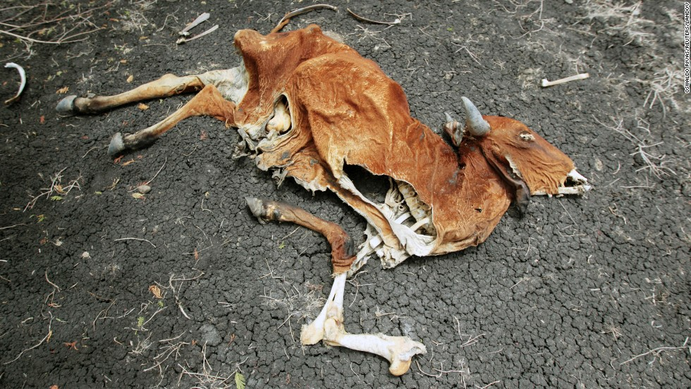 The carcass of a cow that died from lack of food lies on the ground in San Francisco Libre, one of the Nicaraguan municipalities affected by a shortage of rain, on Friday, July 18. The dry spell in the center of the country has killed more than 2,000 cows, according to the Federation of Livestock Associations of Nicaragua.
