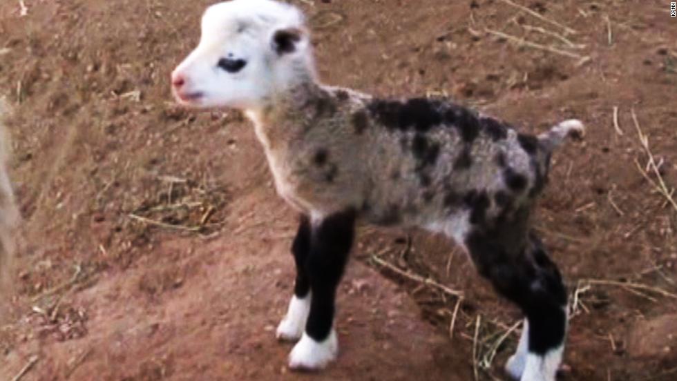 See adorable, rare sheep-goat hybrid - CNN Video