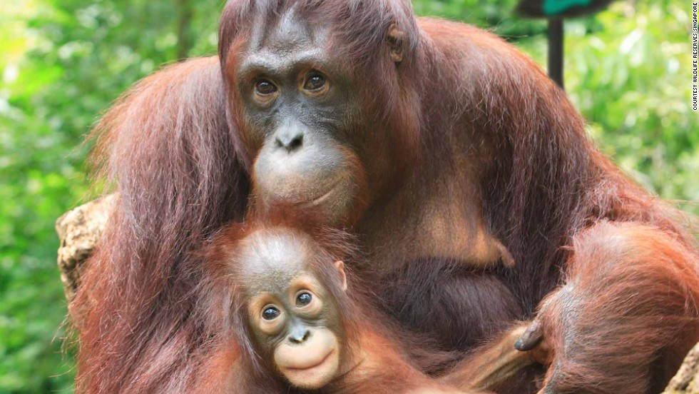 Number five on TripAdvisor's list of top world zoos, Singapore Zoo gets visitors close to a variety of animals.