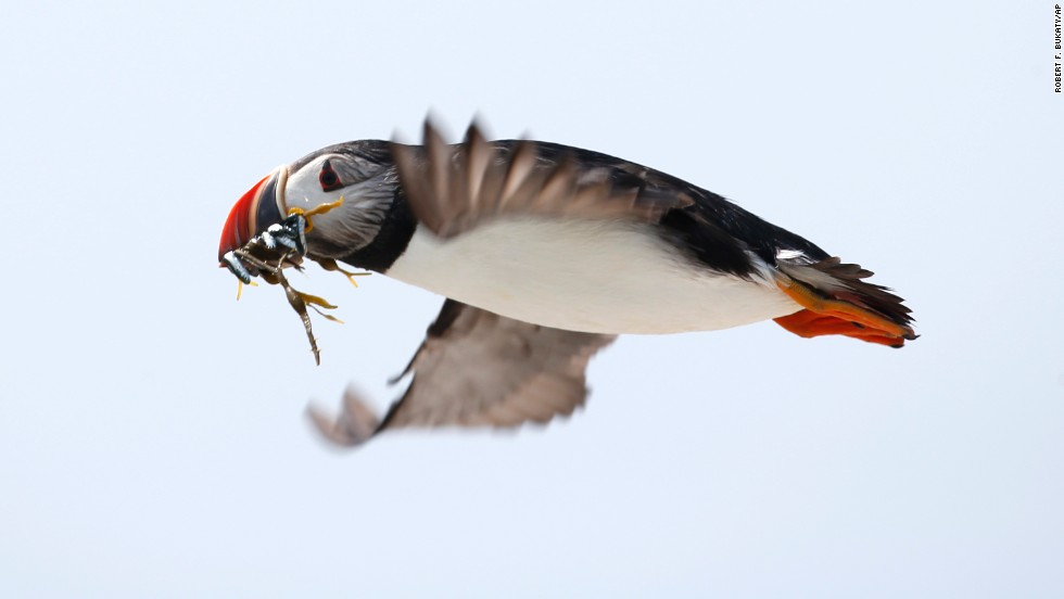 An Atlantic puffin carries small fish in its beak to feed its chicks on Eastern Egg Rock, a small island off the coast of Maine, on Friday, August 1.