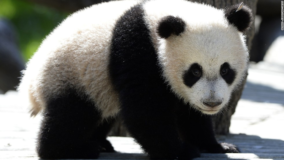 Seven-month-old panda Xing Bao explores his new enclosure at the Zoo Aquarium in Madrid on April 9, 2014.