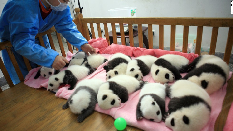 A keeper tucks in a group of panda cubs for a nap at the Chengdu Giant Panda Breeding Center on September 26, 2011.