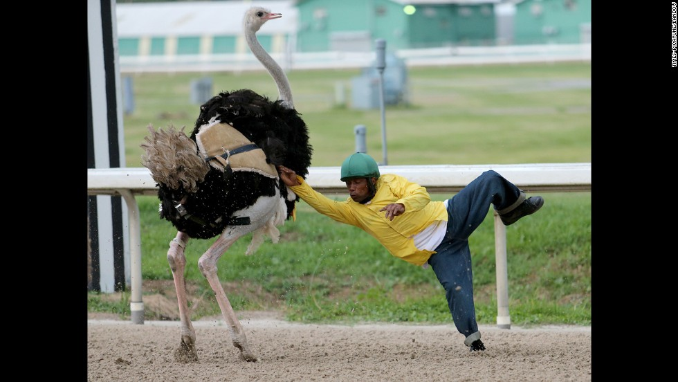 Jermart Brady is thrown from ostrich Rosie Na-Ostrich during exotic animal racing Saturday, August 16, at the Fair Grounds Race Course in New Orleans. Zebras raced there earlier in the day.