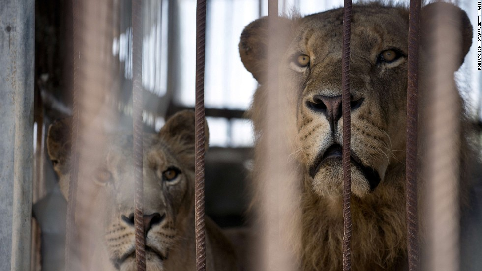 A lion and lioness look on from inside their cage. CNN understands from Israeli sources that the military believes there may have been a number of Hamas rocket launchers in the area of the zoo.
