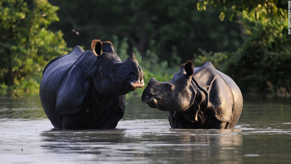 An Indian one-horned rhinoceros and its calf wade through floodwaters Wednesday, August 27, at a submerged area of the Pobitora wildlife sanctuary in India.