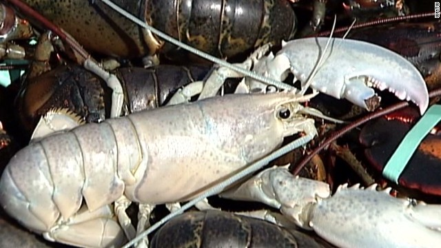 pkg two albino lobsters caught_00004415.jpg