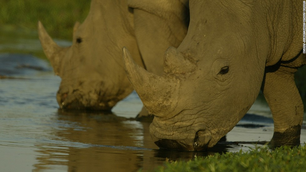 Because rhinos' first instinct is to seek out other herds, and Botswana has a low rhino density, synthesized rhino dung is used to help the relocated animals establish their territory.