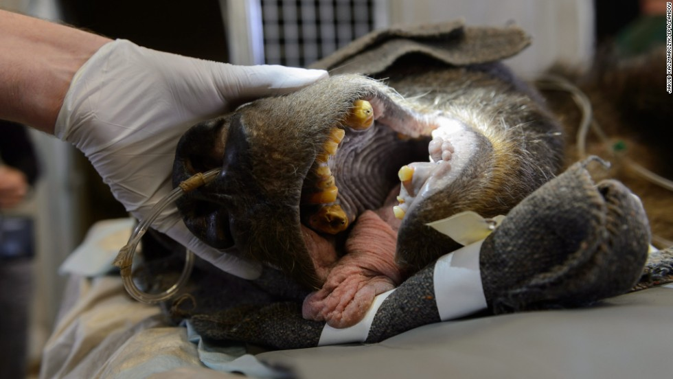 The teeth of Misha, a brown bear, are examined Friday, September 5, at a zoo in Poznan, Poland. It was the bear's first-ever dental treatment.