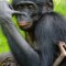 African Wildlife Foundation bonobo