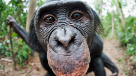 Apes might be able to tell what you're thinking