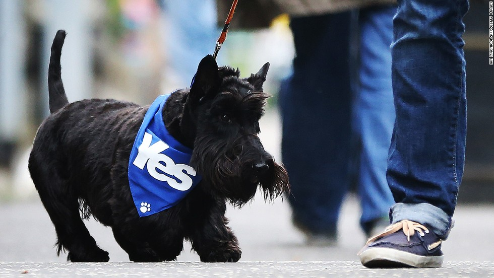 A dog wearing a pro-independence bandana walks down a street September 18 in Glasgow.