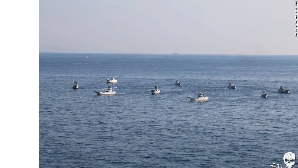 "According to Sea Shepherd, the dolphin hunt boats create a wall of sound that is deafening to the dolphin pod. This allows them to drive the pod into shallow water, and eventually the ""killing cove."""