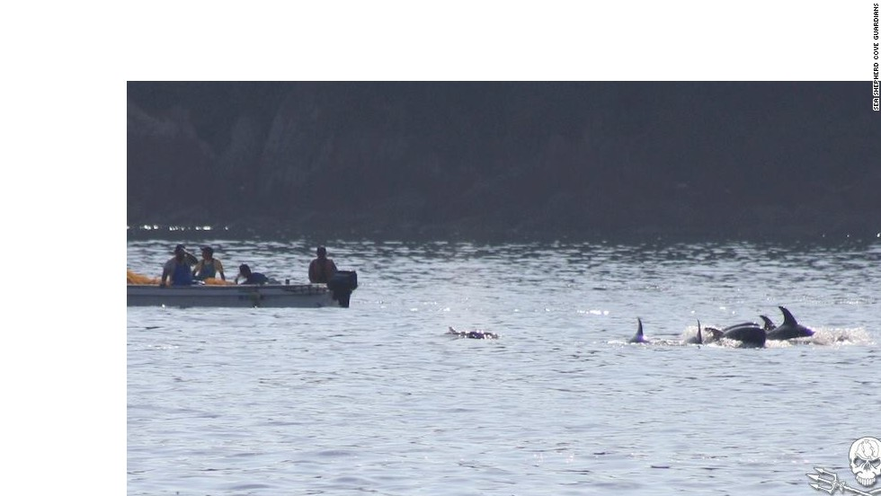 "On this occasion, eyewitnesses saw eight Risso's dolphins driven into the cove. Four were young calves that were ""dumped back out to sea,"" according to Sea Shepherd. Calves usually stay with their mother for 3-6 years."
