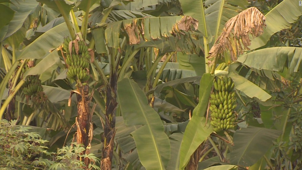 Banana trees are plentiful in Uganda's Kasese district, an area where most people make a living through subsistence farming.