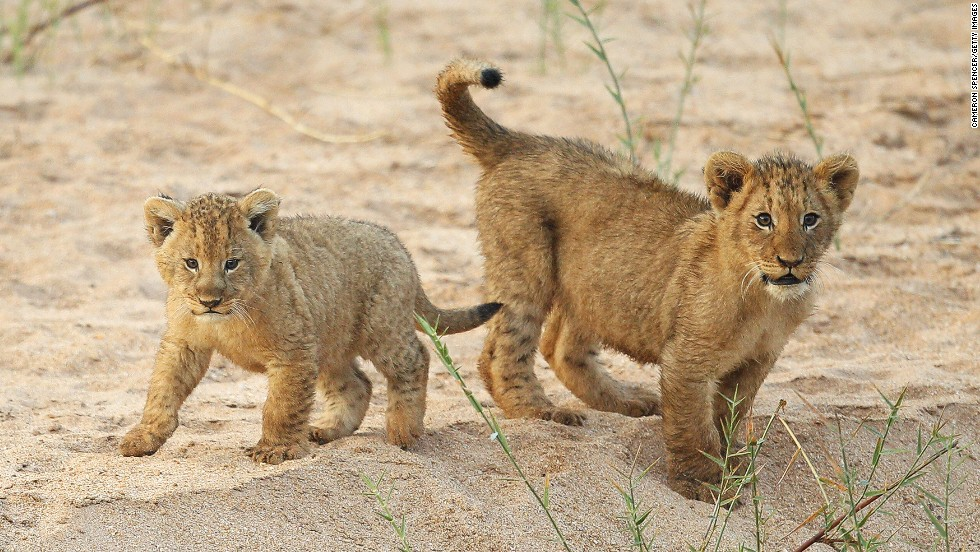 Lion cubs in the Edeni Game Reserve in South Africa. Edeni is a 21,000-acre wilderness area located near Kruger National Park.