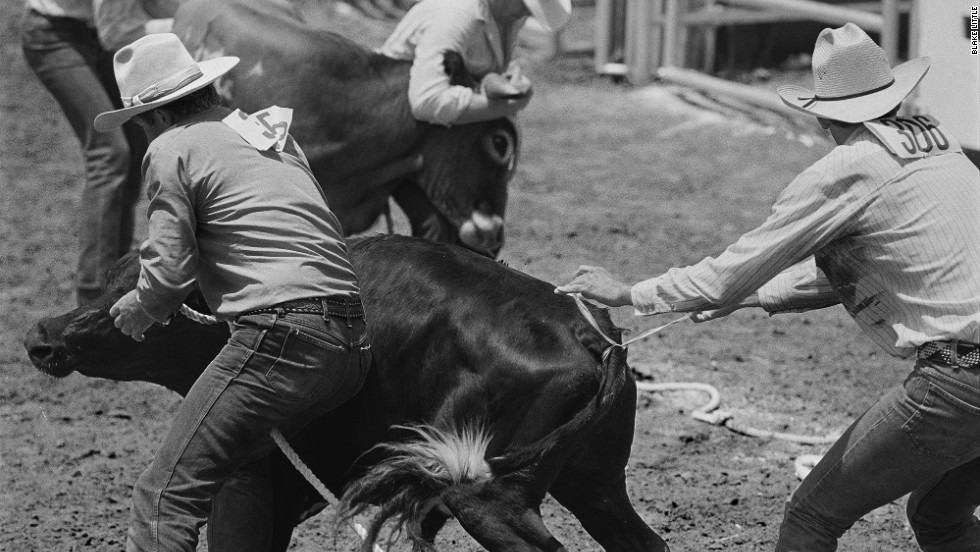 "This image shows ""steer decorating,"" an event that was open to anyone at the rodeo. ""You have to tie a ribbon on the steer's tail while your partner holds on the head of the steer,"" Little wrote. ""It's not at easy as it looks."""