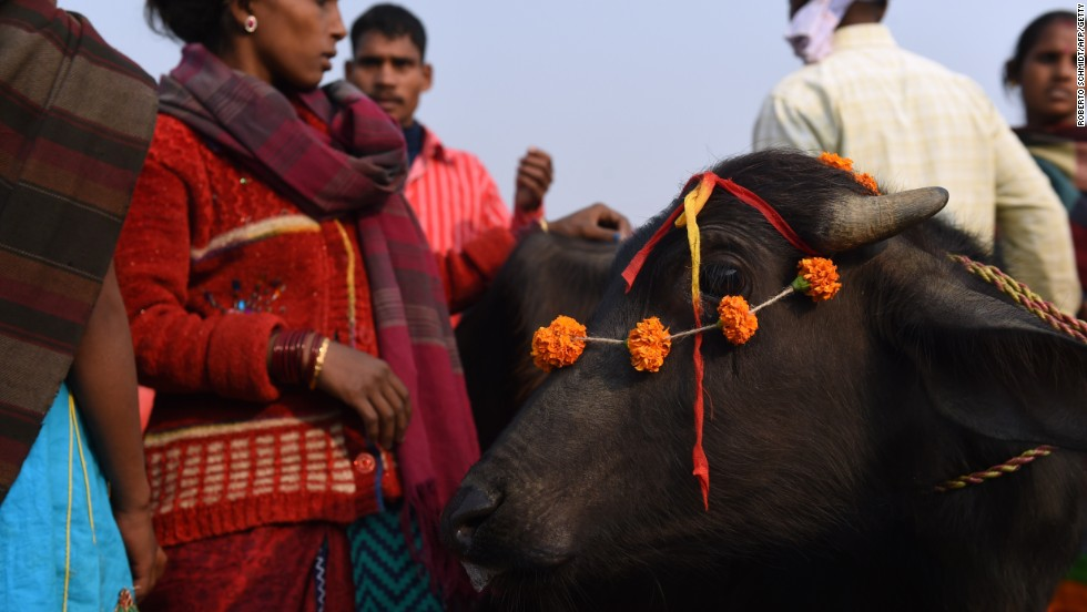 Hindu devotees stand next to their buffalo which they adorned with flower garlands before they placed it inside a walled enclosure in the village of Barayarpur for slaughter on November 28.