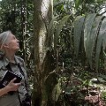 Jane goodall tree jungle